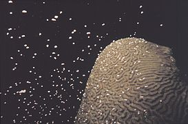 Brain coral spawning