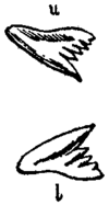 Britannica Shark Tope Teeth.png