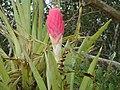 Bromélia - panoramio (1).jpg