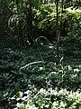Bromus benekenii sl1.jpg
