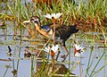 Bronze winged jacana .jpg