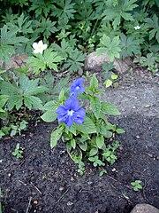 Browallia speciosa.jpg