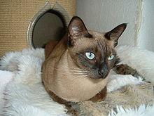 tonkinese cat wikipedia
