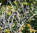 Brown Honeyeater. Lichmera indistincta - Flickr - gailhampshire (1).jpg
