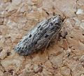 Brown House Moth - Flickr - gailhampshire.jpg