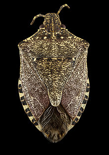 Brown marmorated stink bug (Halyomorpha halys) - Back - USGS Bee Inventory and Monitoring Laboratory.jpg