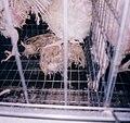 Buckeye rotting hen1 (4017692891).jpg