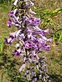 Buddleja japonica1.jpg