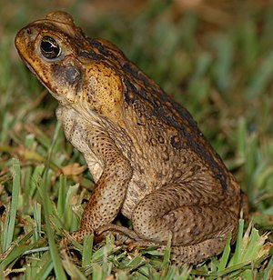 Evolutionary arms race -  Cane Toads have experienced a massive population explosion in Australia due to the lack of competition.