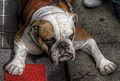 Bulldog1 (8189077598).jpg