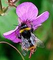 Bumblebee (260131671).jpeg