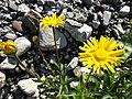Buphthalmum salicifolium L. (7477208456).jpg