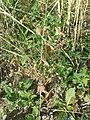 Bupleurum rotundifolium sl40.jpg