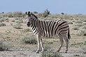 Burchell's zebra (Equus quagga burchellii) 2.jpg