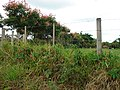 Buritana - Flôres na paisagem (clique na foto) - panoramio.jpg