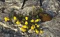 Burren-22-Gewaechs im Stein gelb-1989-gje.jpg