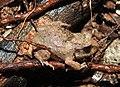 Burrowing Frog Sphaerotheca breviceps juvenile by Dr. Raju Kasambe DSCN7540 (1).jpg