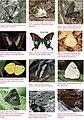 Butterflies of Garhwal, Uttarakhand, western Himalaya, India 1.jpg