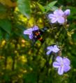 Butterfly,national botanical garden Bangladesh.png