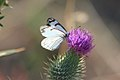 Butterfly on Thistle, Wallowa Whitman National Forest (26195910204).jpg