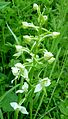 Butterfly orchid. Greater or Lesser - Flickr - gailhampshire.jpg