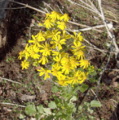 Butterweed (2945837460).png