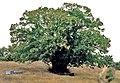 Cáceres, árboles 1975 04.jpg