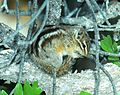 CHIPMUNK, LEAST (Tamias minimus) (6-4-2014) devil's cyn, san juan co, ut (14600087645).jpg