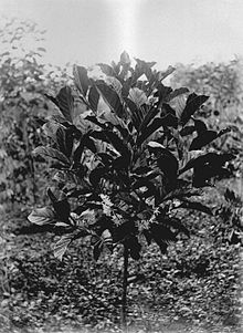 COLLECTIE TROPENMUSEUM Bloeiende Liberia-koffie geplant in april 1896 cultuuronderneming Kedongdong of Way Lima Lampongse Districten Zuid-Sumatra. TMnr 60013379.jpg