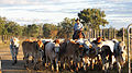 CSIRO ScienceImage 11010 A stockman musters cattle on CSIROs Belmont Research Station in central Queensland.jpg