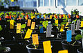 CSIRO ScienceImage 3366 Cotton seedlings in glasshouse.jpg