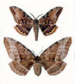 CSIRO ScienceImage 50 Male and Female White Stemmed Gum Moths.jpg