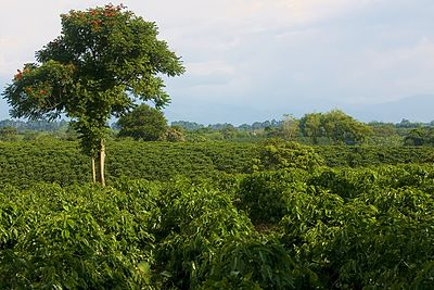 A coffee plantation in Quimbaya, Quindío, Colombia. View from the road to La Union (Quimbaya), looking south towards Montenegro.