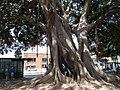 Cagliari Ficus trees 1.jpg