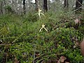 Caladenia busselliana 01.jpg