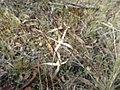 Caladenia microchila 01.jpg