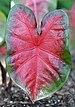 Caladium 'Bombshell' Leaf.JPG