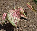 Caladium 'Candyland' Leaves.JPG