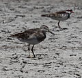 Calidris melanotos - Alice Springs Sewage Ponds - Christopher Watson.jpg