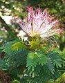 Calliandra surinamensis (1).jpg