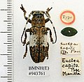 Callimetopus capito (Pascoe) (5189154923).jpg