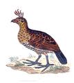 Callipepla douglasii - 1700-1880 - Print - Iconographia Zoologica - Special Collections University of Amsterdam - UBA01 IZ17100253 (crop).png