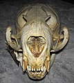 Callorhinus ursinus (northern fur seal) skull 4 (32712141147).jpg