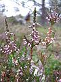 Calluna vulgaris.jpg