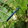 Calopteryx virgo E94-22.jpg