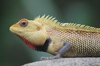 Calotes versicolor (Oriental Garden Lizard).jpg