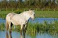 Camargue Horse (26645657776).jpg