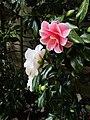 Camellia japonica 'Lady Vansittart' - Flickr - wallygrom.jpg