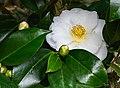 Camellia japonica - white NBG.jpg