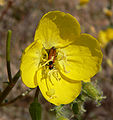 Camissonia brevipes 5.jpg